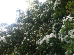 hawthorne-tree