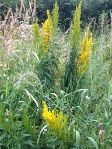 goldenrodandgrasses