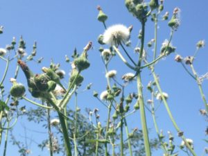 sow-thistle-and-sky