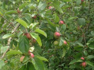king-apple